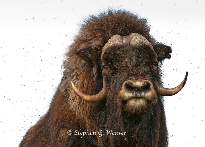 Muskox,ANWR, Alaska,mosquitoes, , photo