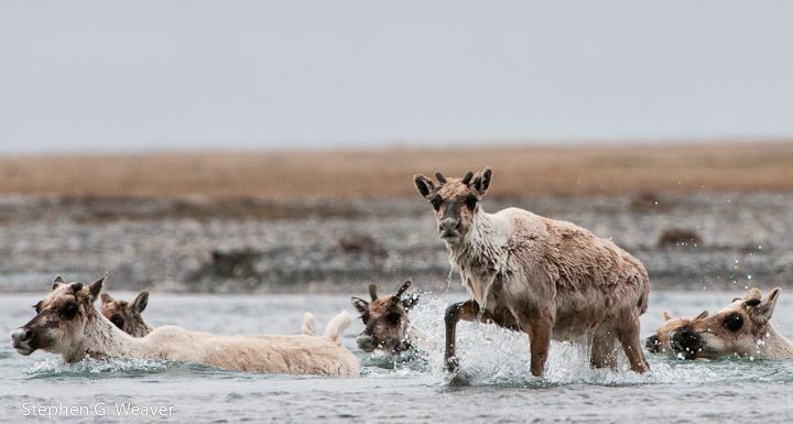 Alaska, caribou, photo