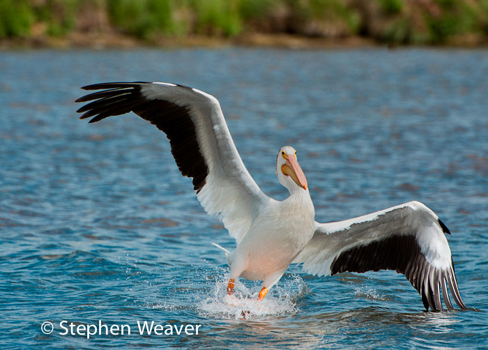 White Pelican,birds,Colorado,Antero Reservoir,, photo