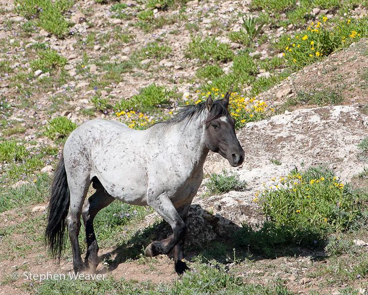 Montana, Pryor Mountains, Wild horses