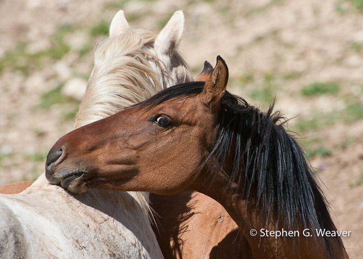 A mare nuzzles the stallion Cloud