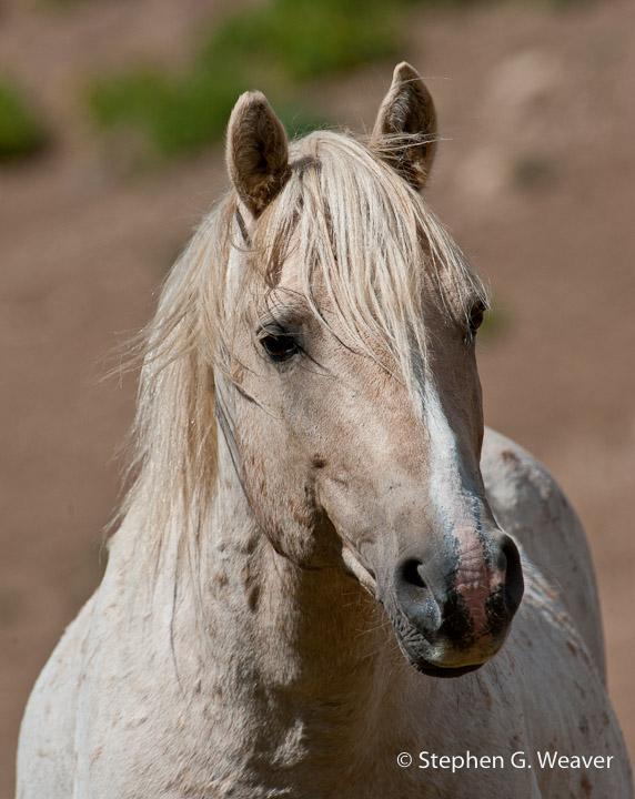 Cloud, Montana, Pryor Mountains, Wild horses