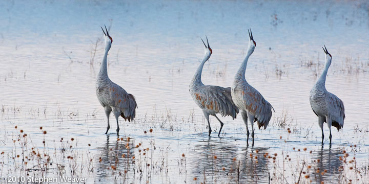 Sandhill Cranes,Bosque del Apache, National Wildlife Refuge, New Mexico,dawn, photo