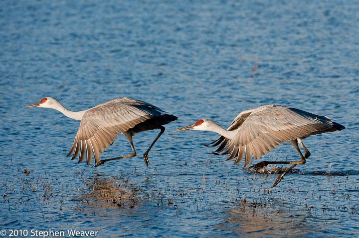 Sanhill cranes,, photo