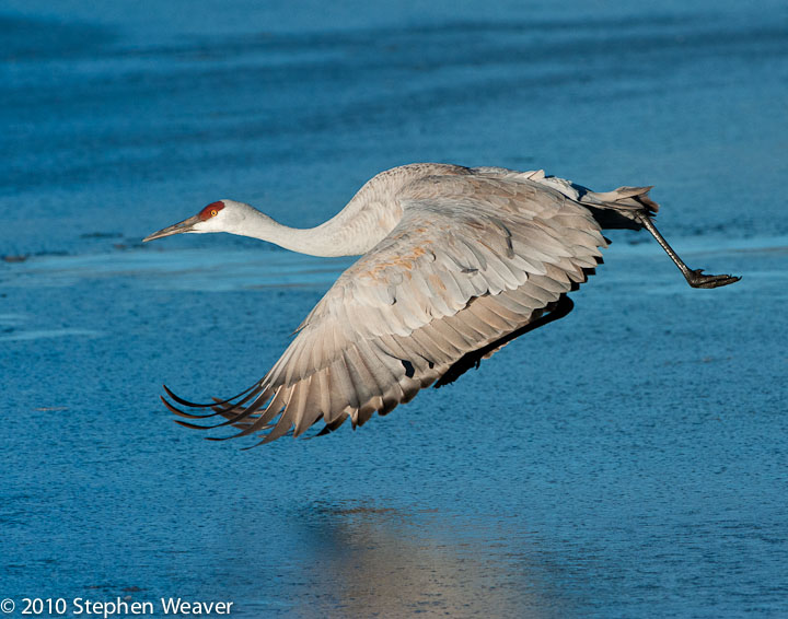 Sandhill crane,National Wildlife Refuge, photo