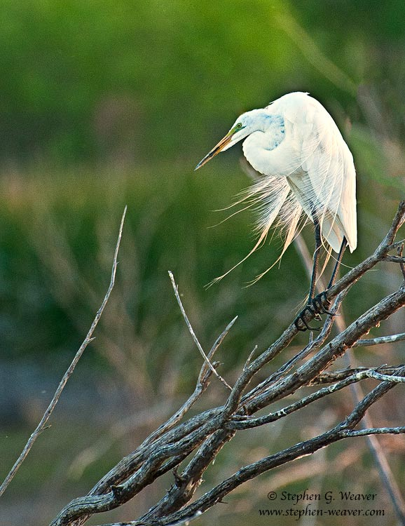 Great Egret with breeding plumage,Bosque del Apache NWR ,New Mexico