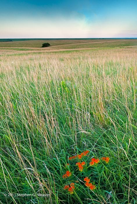 grass,Kansas, wildflowers,Butterfly Milkweed, photo