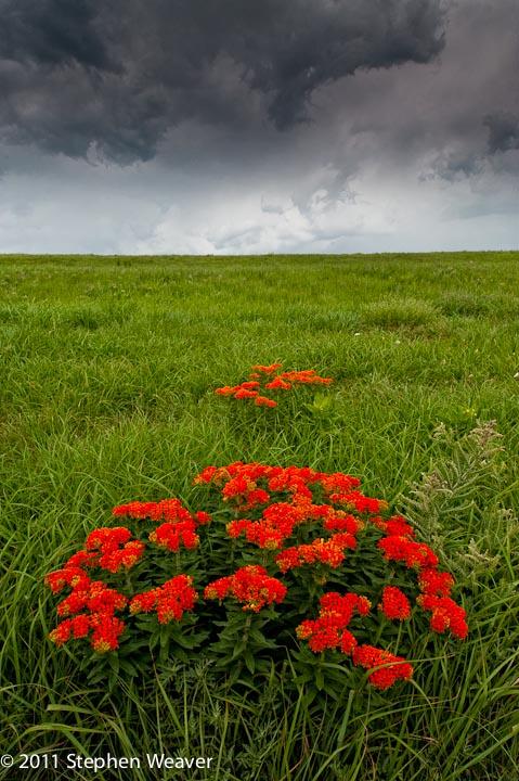 Tall Grass Prairie, Prairie, Kansas, Butterfly Milkweed,Spring,green, photo