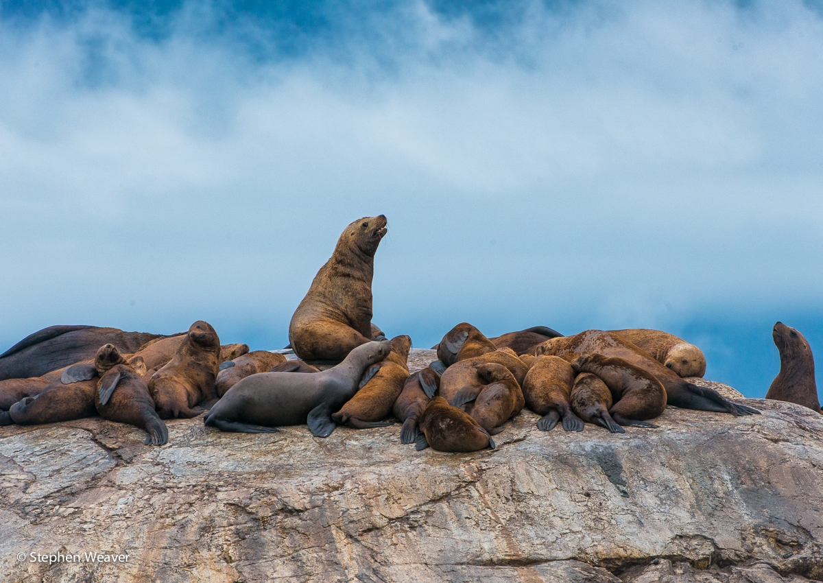 Alaska,Glacier Bay NP,South Marble Island,Stellar Sea Lions, photo