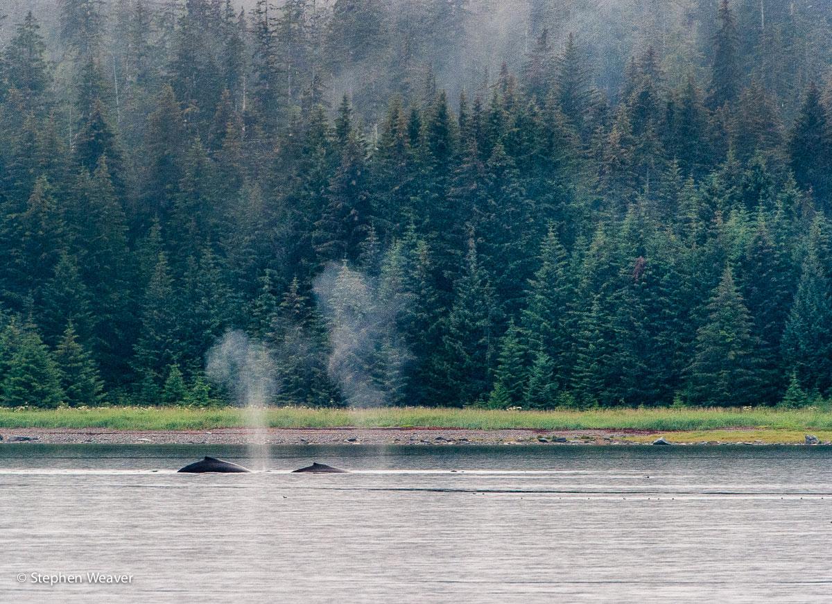 Alaska, Glacier Bay National Park, humpback whales, Bartlett Cove, whales
