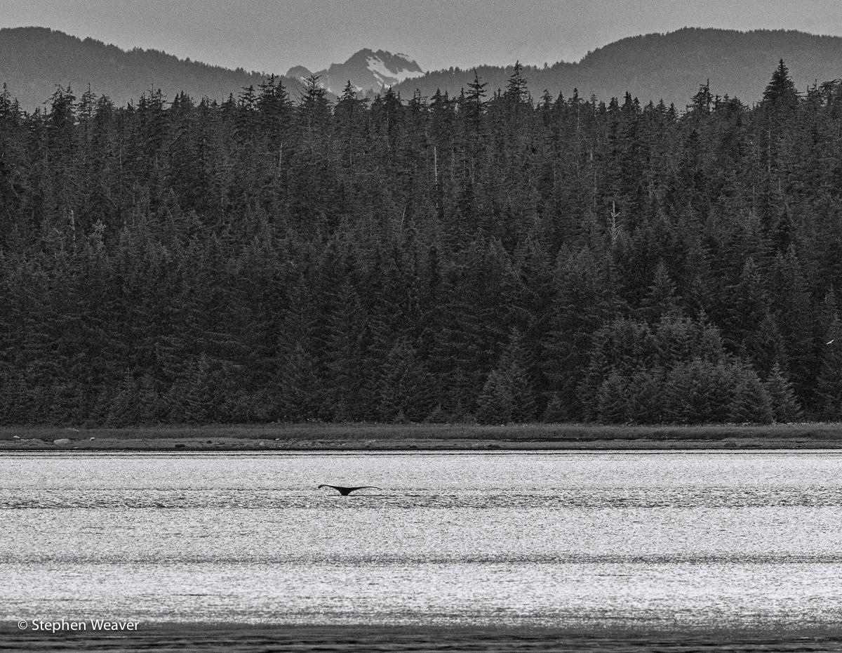 Alaska, Bartlett Cove, Glacier Bay NP, humpback whales, whale