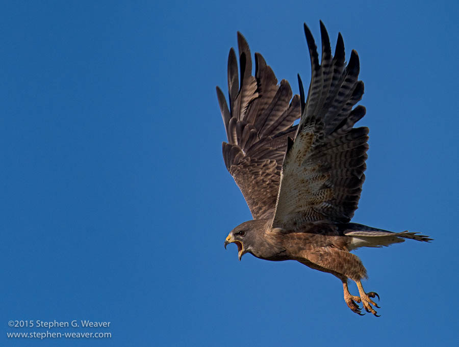 Colorado, Medano Ranch, Swainson's Hawk, Zapata Ranch, photo