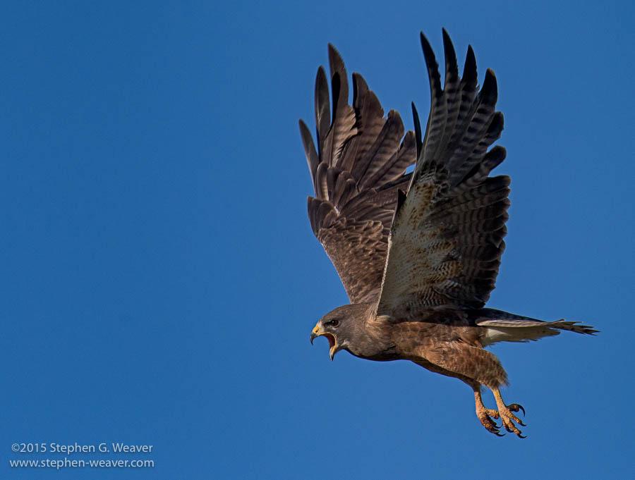 A Swainson's Hawk in flight on the Medano Ranch