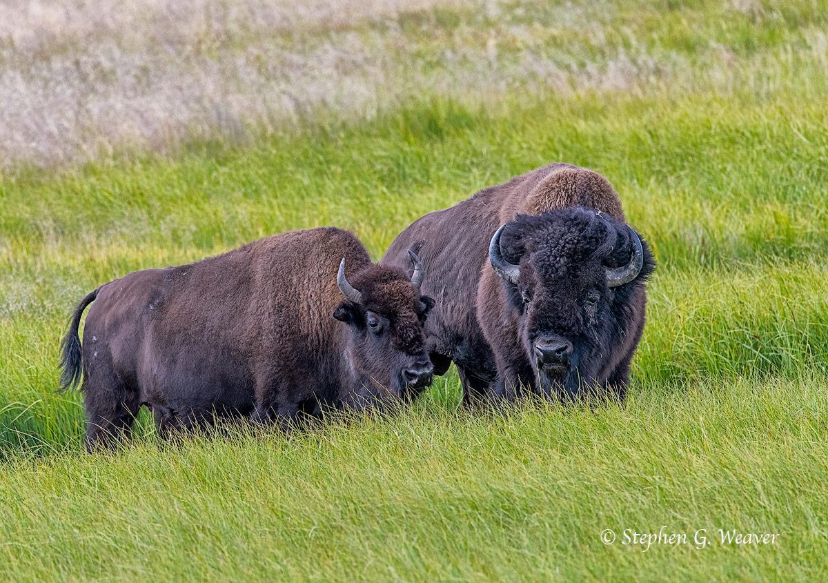bison, Yellowstone National Park, Hayden Valley