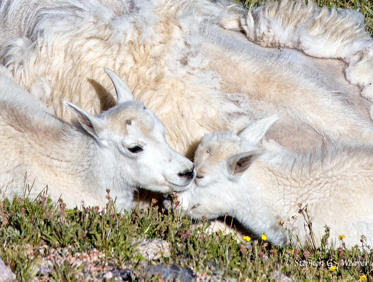 Two Mountain Goat Kids snuggle against their mother.