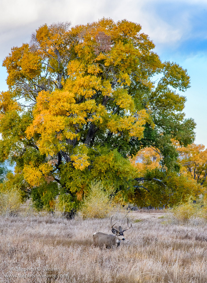 Colorado,Fall color,Medano Ranch,Zapata Ranch, Mule Deer, photo