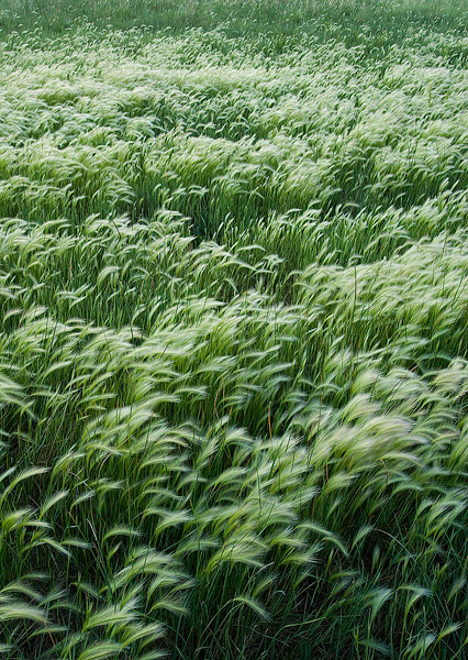 foxtail barley,Colorado,Chico Basin Ranch, photo