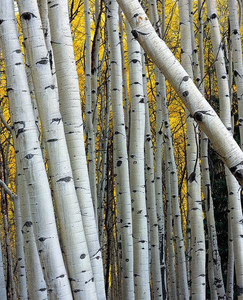 aspen,Kebler Pass,Colorado               	, photo
