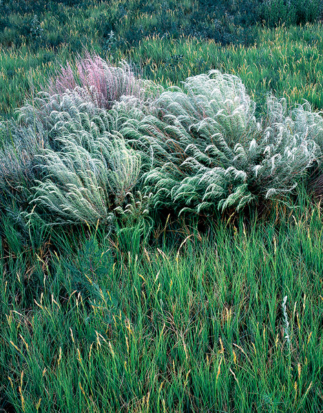 Sand Sage,Buffalo Grass,Chico Basin Ranch, Colorado              	, photo