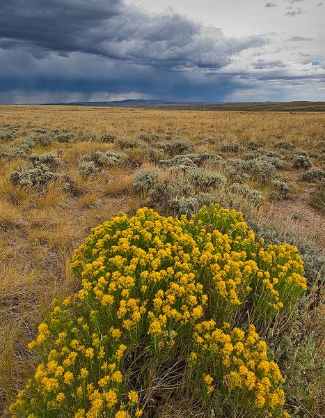 Rabbit Brush, Wyoming, flowers                , photo