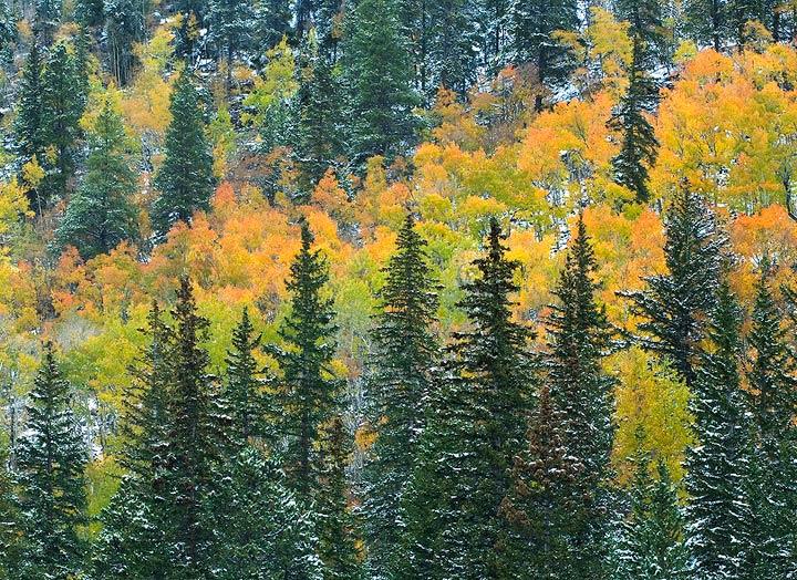 Colorado Rockies, Fall colors, aspens                , photo