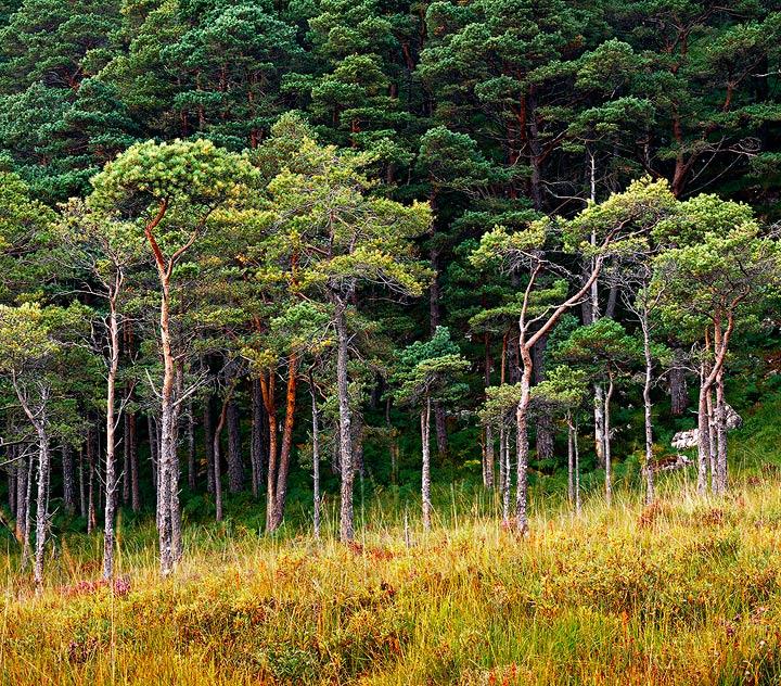 Scots pine, Scotland,                 , photo