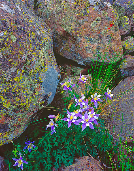colorado columbines,Colorado,Cumbres Pass, photo