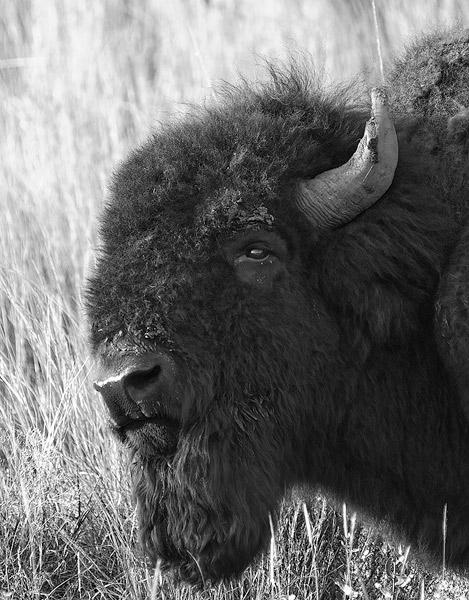 Oklahoma, Wichita Mountains, bison                , photo