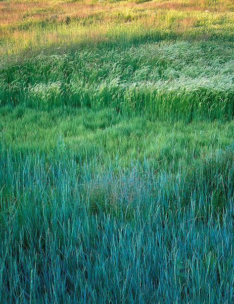 Western wheat grass,buffalo grass,foxtail barley,Chico Basin Ranch,Colorado, photo