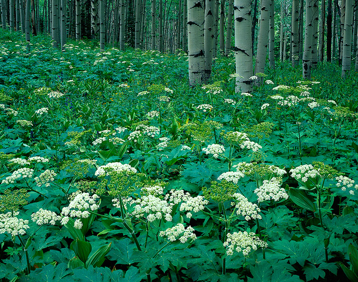 bloom,aspen,cow parsnips,Kebler Pass, Gunnison National Forest,Colorado, photo