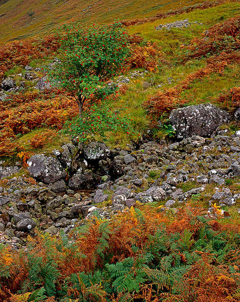 Scotland, Glen Etive, rowan tree, ferns