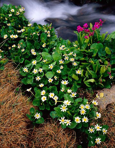 wildflowers, marsh marigold, parry primrose                , photo