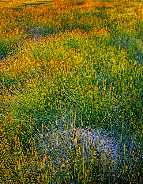 sedge, Medano Ranch,meadow,Colorado              	, photo